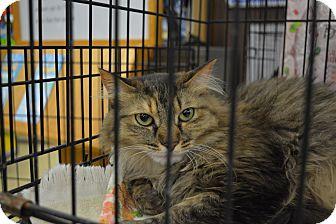 Domestic Mediumhair Cat for adoption in Ogden, Utah - Kiwi