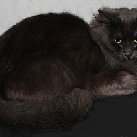 Russian Blue Cat for adoption in Torrance, California - Muffin