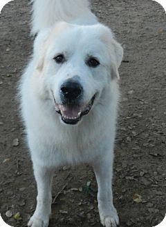 Great Pyrenees Dog for adoption in Granite Bay, California - HARRIS