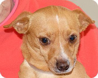 Chihuahua Mix Dog for adoption in Spokane, Washington - Gizmo