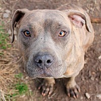 Pit Bull Terrier Dog for adoption in Memphis, Tennessee - Tulip