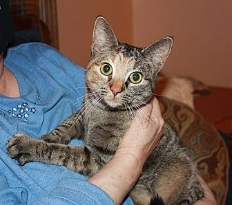 Domestic Shorthair Cat for adoption in Spring Valley, New York - Kitty Boo Boo