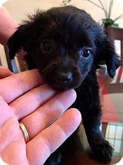 Chihuahua Mix Puppy for adoption in ST LOUIS, Missouri - Garth