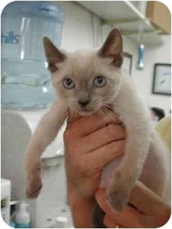 Siamese Kitten for adoption in Fort Lauderdale, Florida - Tahoe