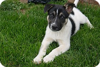 Shepherd (Unknown Type)/Border Collie Mix Puppy for adoption in Denver, Colorado - Indy