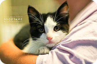Domestic Shorthair Kitten for adoption in Edwardsville, Illinois - Jiffy