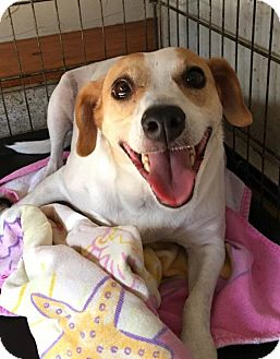 Jack Russell Terrier/Beagle Mix Dog for adoption in West Palm Beach, Florida - Ginger