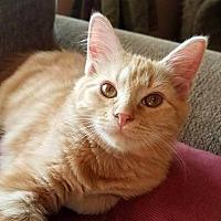 Adopt A Pet :: Buzz - Millersville, MD