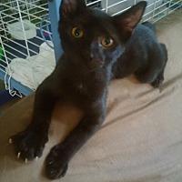 Adopt A Pet :: Ian - Centerton, AR