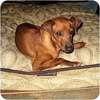 Miniature Pinscher Dog for adoption in Phoenix, Arizona - General Red