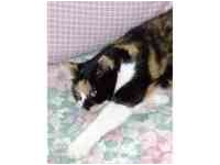Calico Cat for adoption in Tampa, Florida - Callie