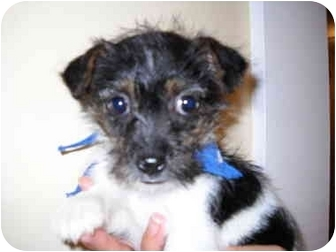 Jack Russell Terrier Mix Puppy for adoption in Portland, Maine - Olivia