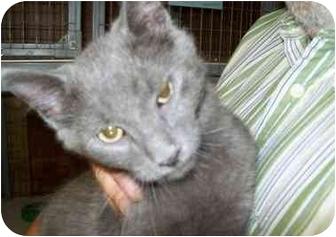 Domestic Shorthair Kitten for adoption in Tipton, Iowa - PeeWee
