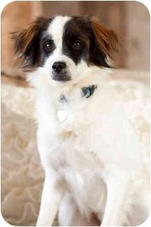 Brittany Mix Dog for adoption in Portland, Oregon - Samuel