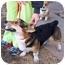 Photo 3 - Pembroke Welsh Corgi Dog for adoption in Inola, Oklahoma - Booker