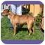 Photo 2 - American Pit Bull Terrier Mix Dog for adoption in Berkeley, California - Sherman