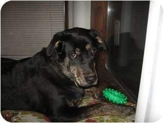 Labrador Retriever/Rottweiler Mix Dog for adoption in Montreal, Quebec - Cookie
