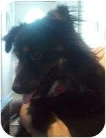 Australian Shepherd Mix Dog for adoption in Schertz, Texas - Bruce