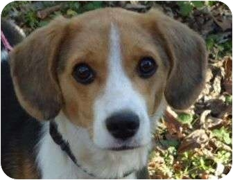 Beagle Mix Puppy for adoption in Spring Valley, New York - Thor