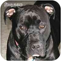 American Pit Bull Terrier Dog for adoption in Cary, Illinois - Benny