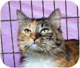 Domestic Longhair Cat for adoption in Sacramento, California - Laura L
