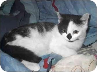 Domestic Shorthair Cat for adoption in Ortonville, Michigan - Mu Shu