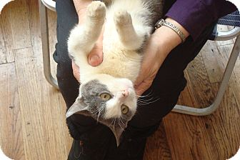 Domestic Shorthair Kitten for adoption in Brooklyn, New York - Tyler