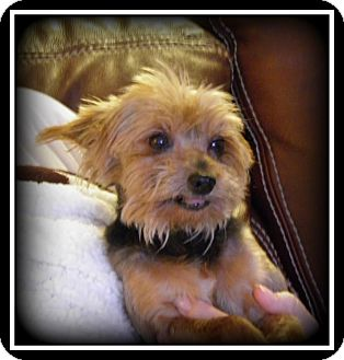 Yorkie, Yorkshire Terrier Dog for adoption in Indian Trail, North Carolina - Ivy