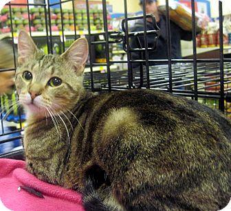 Domestic Shorthair Cat for adoption in Overland Park, Kansas - Herbie the Love Bug