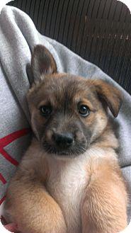 Shepherd (Unknown Type) Mix Puppy for adoption in Schaumburg, Illinois - Baylie