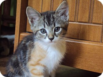 American Shorthair Kitten for adoption in Daisy, Georgia - Sarasa *Courtesy*