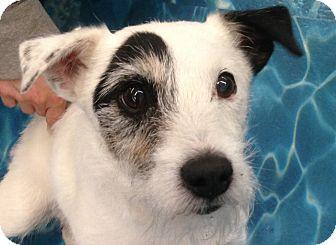 Jack Russell Terrier Dog for adoption in Ogden, Utah - Baxter