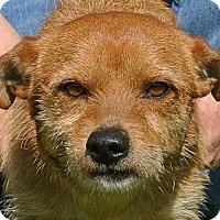 Adopt A Pet :: Bean - white settlment, TX