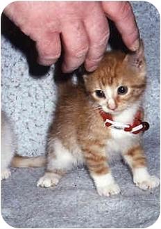 Domestic Mediumhair Kitten for adoption in Owatonna, Minnesota - Butterscotch