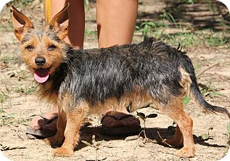 Yorkie, Yorkshire Terrier Mix Dog for adoption in Stamford, Connecticut - ShaZam