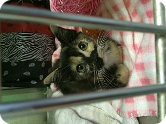 Domestic Shorthair Kitten for adoption in Edwards AFB, California - Whiskers