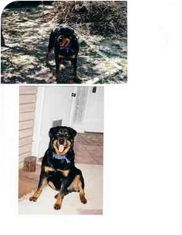 Rottweiler Dog for adoption in West Los Angeles, California - Bryson