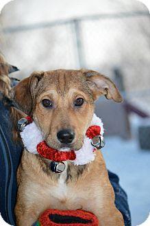 Collie/Labrador Retriever Mix Puppy for adoption in Saskatoon, Saskatchewan - Jersey