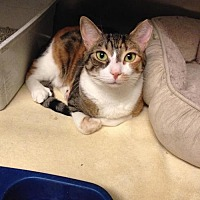 Adopt A Pet :: Pheonix - Whitestone, NY