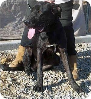 Great Dane/Labrador Retriever Mix Dog for adoption in Acton, California - Lola