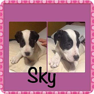 Labrador Retriever/German Shorthaired Pointer Mix Dog for adoption in Von Ormy, Texas - Sky