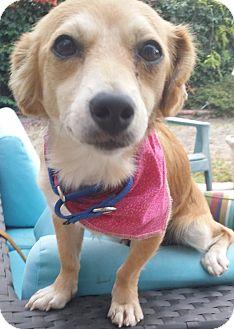 Spaniel (Unknown Type)/Dachshund Mix Dog for adoption in Los Angeles, California - VIRGINIA