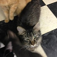 Domestic Mediumhair Cat for adoption in Fresno, California - Pauli