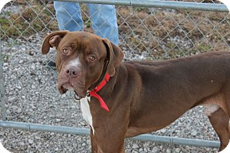Dogue de Bordeaux Mix Dog for adoption in Grinnell, Iowa - Ben