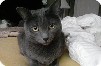 Russian Blue Cat for adoption in Acushnet, Massachusetts - Xavier