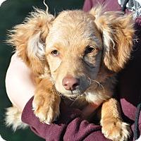 Adopt A Pet :: chief - Tumwater, WA