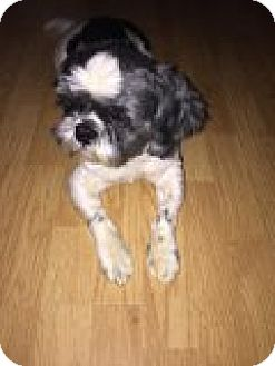 Shih Tzu Dog for adoption in Monroe, North Carolina - Roman