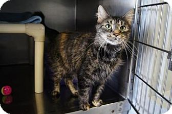 Maine Coon Cat for adoption in New Milford, Connecticut - Francesca