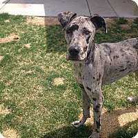 Adopt A Pet :: Sophie - Broomfield, CO