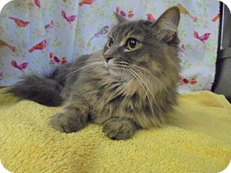 Domestic Mediumhair Cat for adoption in Rapid City, South Dakota - Spookie